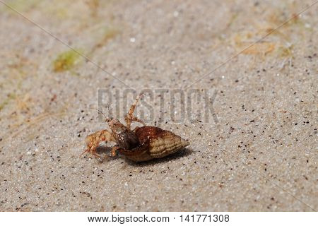 Small hermit crab crawling on wet sand