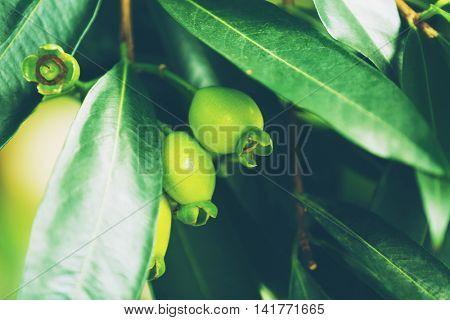 Unripe feijoa fruit, close up