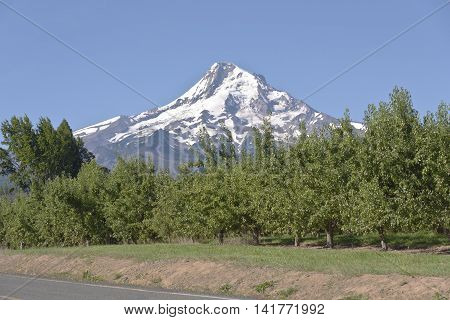 Pear orchards and Mt. Hood in Hood River Valley Oregon.