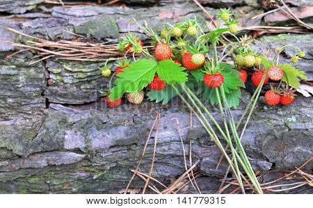 A few sprigs of ripe wild strawberry with leaves on the bark of a tree.