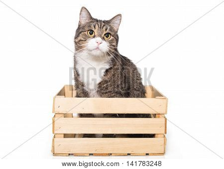 Grey house cat sits quietly in a wooden box isolated on white