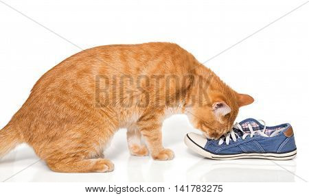 The red cat sniffing shoes isolated on white