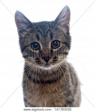 Portrait of a little homeless kitten on white background