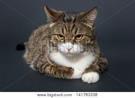 Big fat gray cat on a black background