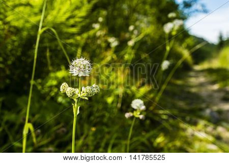 Astrantia Major, Great Masterwort.
