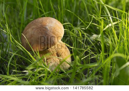 the edible mushrooms in a green grass