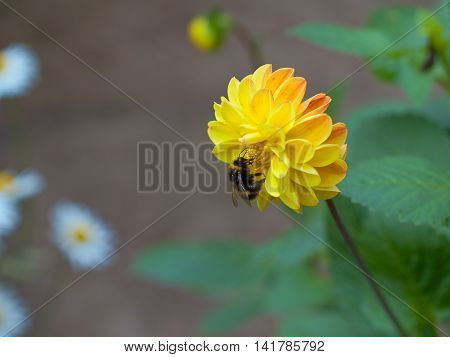 bumblebee and a big beautiful flower flower pollination