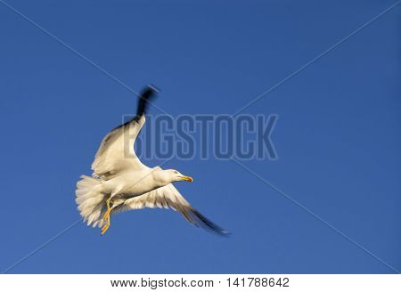 Flying seagull in the harbour of the Swedish city Goteborg