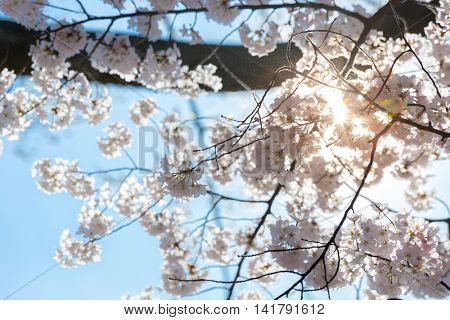 Sakura cherry Blossoms with sun beam
