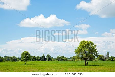 Alone Tree at farm and field for agriculture background