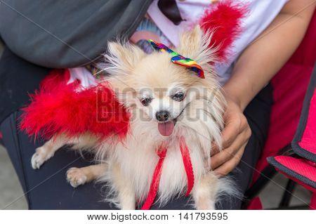 Pomeranian dog with gay rainbow flag at Toronto gay pride parade