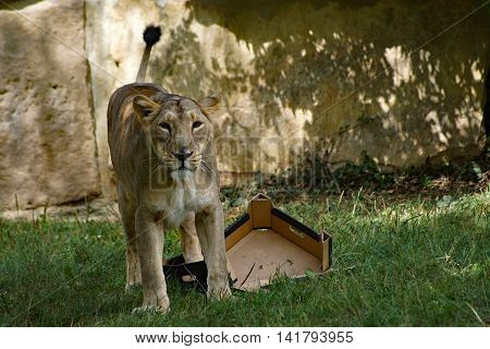 Asiatic lioness - Panthera leo persica playing with paper box
