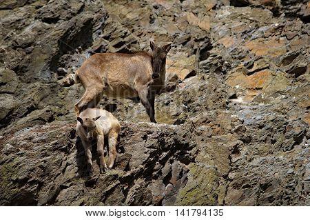 Female Ibex ( Capra caucasica )with her baby in the rocky terrain