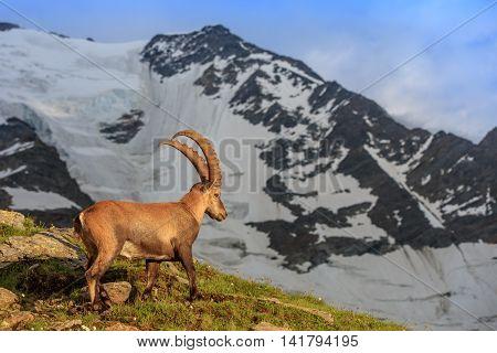 Ibex Range of Mont-Blanc. In background Glacier du Bionnassay