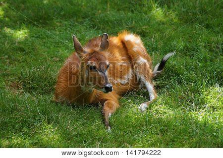 Female sitatunga antelope ( Tragelaphus spekeii ) lying on the green grass
