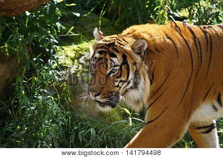 Siberian ( amur ) tiger - Panthera tigris altaica