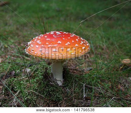A Amanita muscaria mushroom close-up in forest