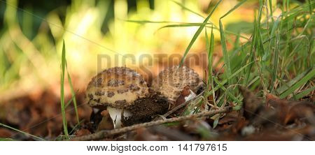 Delicious mushroom Amanita Rubescens - the blusher under the leaves in the forest.