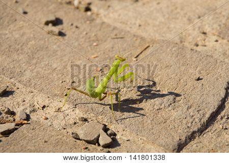 Green little mantis on bricks