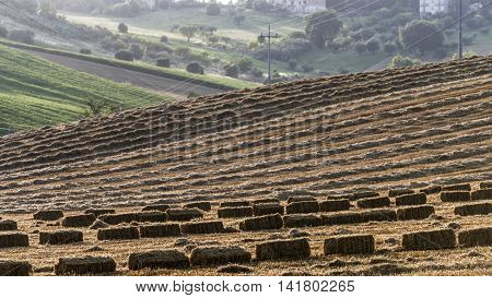 hay bales and wheat harvesting residue on a field