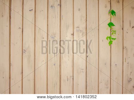 hop leaves on a background of wooden fence. single whip hops on a wooden fence. empty space for your text