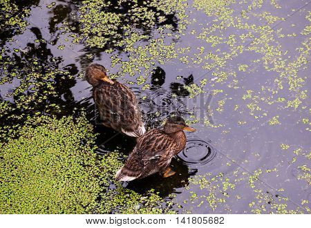 Ducks in natural conditions among a pond with duckweed