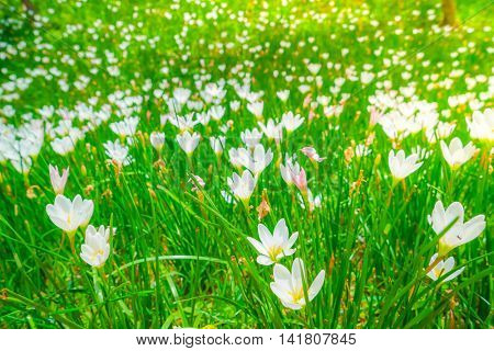Beautiful White bunch flowers on green grass background