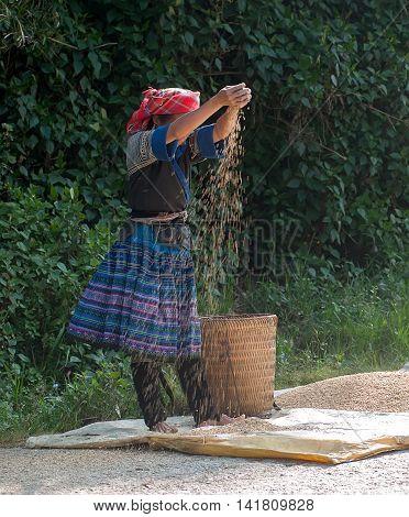 HA GIANG, VIET NAM, September 24, 2015 woman Hmong, high mountains, Ha Giang. Rice harvest
