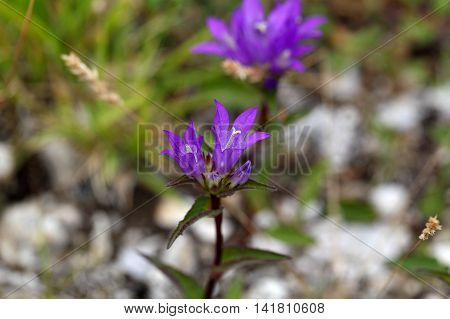 Flowers of the Clustered Bellflower (Campanula glomerata).
