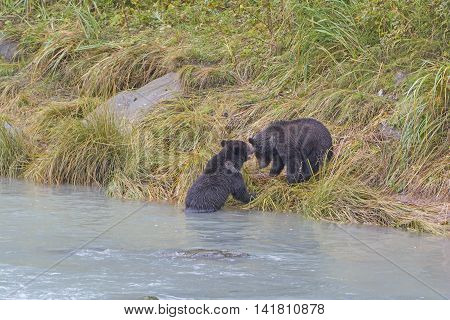 Grizzly Bear Cubs Playing on the shore of the Chilkoot River in Haines Alaska