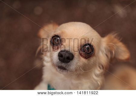 Tan cream colored Chihuahua puppy dog looks nervous