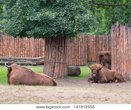 European Bison. Large male bison in the zoo. Wonderful big animals.