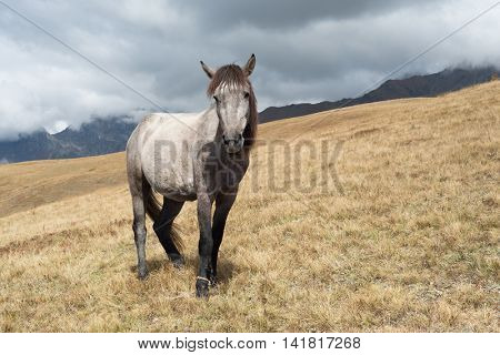 Grey horse in the mountains. Autumn landscape. Caucasus, Georgia, Zemo Svaneti