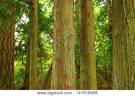 a picture of an exterior Pacific Northwest forest with Western  red cedar trees