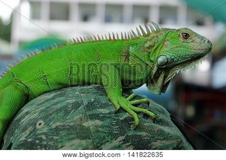 Closeup of green Iguana, Green Iguana portrait Closeup on shoulder