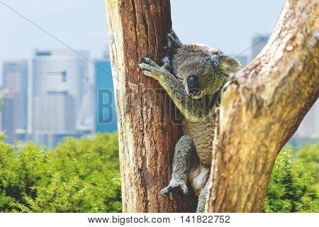 Koala in Sydney, Australia