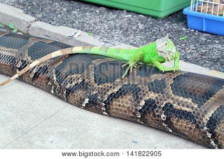 Closeup of green Iguana, Green Iguana on a Snake