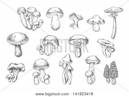 Forest mushrooms sketch of edible chanterelle, king bolete, honey agaric, portobello, porcini, morel, cep and poisonous death cap and amanita muscaria mushrooms. Recipe book, healthy food design