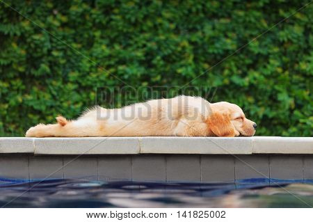 Funny photo of lazy little golden retriever labrador puppy lying stretched on swimming pool side. Training dogs fun games and activities with family pet on summer vacations and weekends.