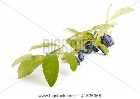 Branch of a honeysuckle with mature berries on a white background.
