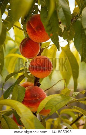 Harvest of peaches. Branches of peach tree with lots of peaches