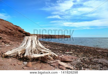 Root sculpted by the sea with Choler bay in background in Gaspesie, Quebec, Canada