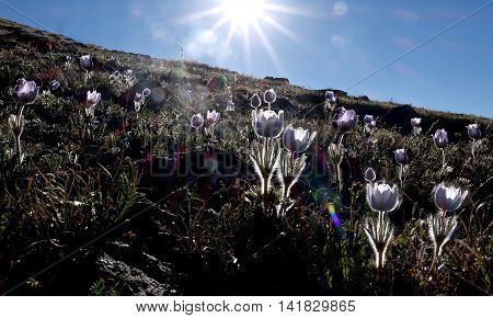 Backlit sping flowers and sun rays. Independence Pass near Aspen and Denver in Rocky Mountains Colorado.