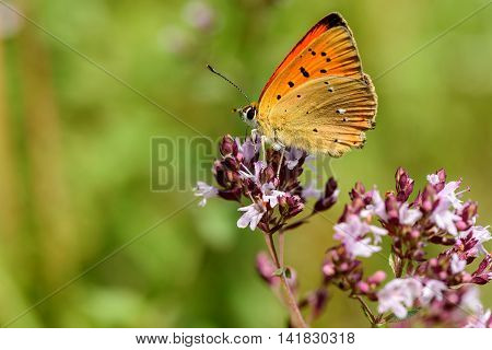 Beautiful natural background with butterfly Lycaena virgaureae closeup with orange wings with black spots sitting on a flower on a blurred background of green grass