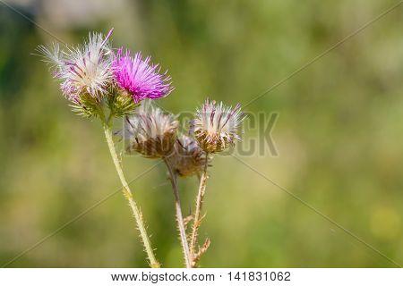 Thistle, Cirsium Arvense