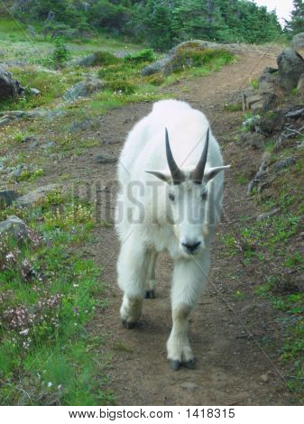 Mountain Goat On Path