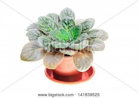 Violet Flower In Brown Pot