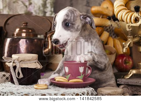 small English hound, whippet