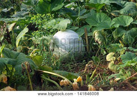 Large green pumpkin in the autumn garden