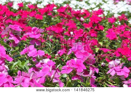 A flower bed with pink, white and red flowers